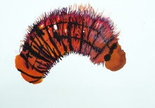 Stephen Wilks, Hairy Caterpillar, ink and acrylic on paper, 42x60 cm, 2009